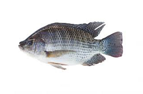 Tilapia Fish - Large